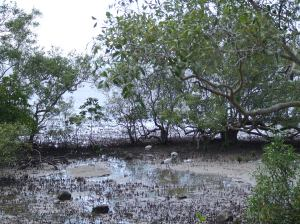 ibis among the mangroves