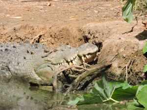 saltwater crocodile snoozing in the sun